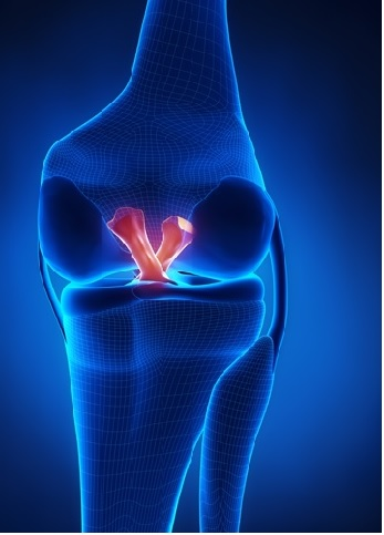 knee ligaments ACL and PCL